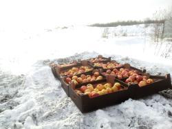 Яблоки из Польши уничтожили