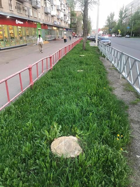 В Ярославле полным ходом ведется вырубка здоровых деревьев