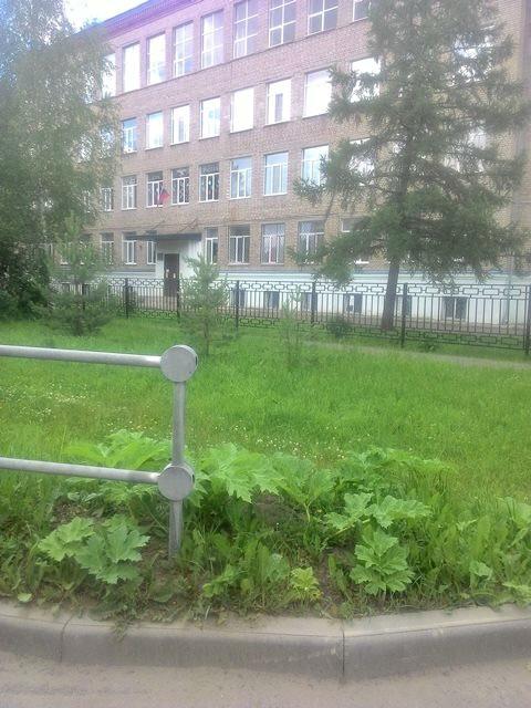 Рыбинские власти так беспощадно борются с борщевиком, что он уже растёт во дворах школ!